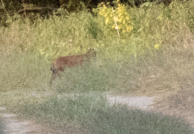 Bobcat leaving a cornfield in Lyme.