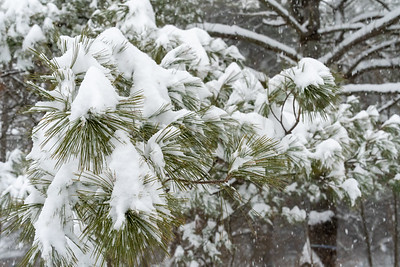 Snow falling on a pine branch.