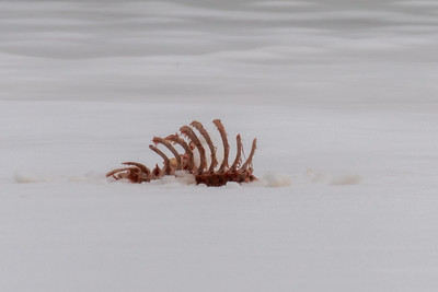 Deer carcass out on the river ice – killed by coyotes and picked clean by many scavengers.