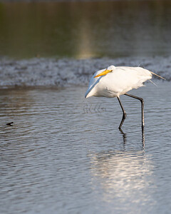 Great white egret (tilting head to look down) at Ocean Point, Kiawah.