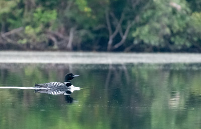 Loon(s) on the river near our house in Lyme.