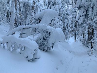 The recent deep snow has bent fir trees hard over.