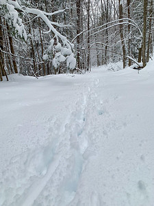 Deer tracks along one of the old logging trails in the woods behind our home.