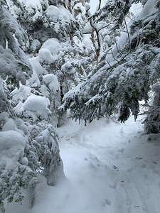In the higher elevations, recent snow weighs heavy on the spruce and fir trees that line the trail to Worcester Mountain, Vermont.