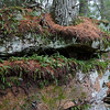 Like in the Boundary Waters, Poly podium ferns grow here on rocks.