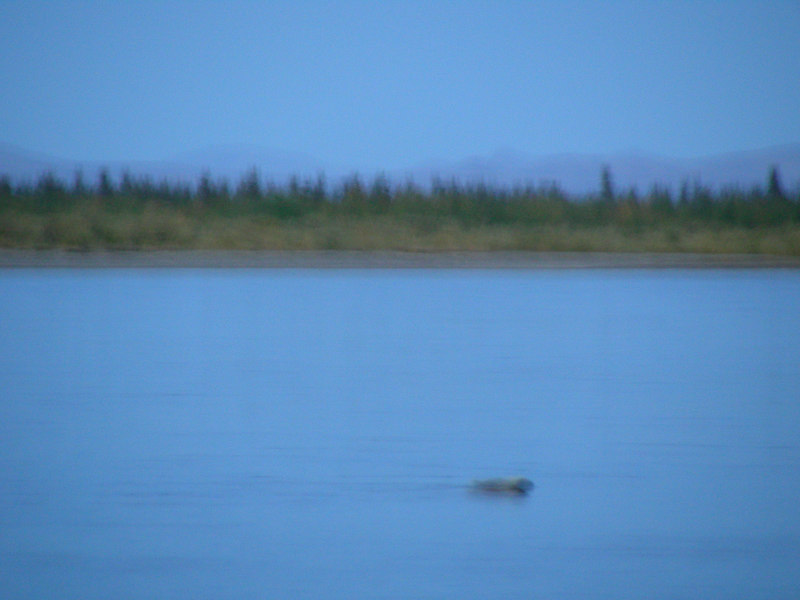 Have you ever seen a swimming porcupine? Well you still haven't. First, this picture is woefully blurry, and secondly, I'm afraid this poor quilly fellow is doing more sinking than swimming.