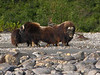 "The three bulls circling up.  This ""circling of the wagons"" is a defense mechanism that muskoxen have employed for millennia.  They face out after circling and take on predators such as wolves in a formidable wall of tenacity and horns.  The calves hide in the middle of the circle.  This stand-your-ground defense mechanism is an excellent way of conserving energy in the harsh arctic environment.  Also, note the large horn ""boss"" on the rightmost bull's forehead.  Testosterone filled head butting is the name of the game when bull muskoxen compete for cows during the rut.  A 30 yard standoff, a running start, and a head on collision with something like a brick wall at the end is about what the strength test boils down to."