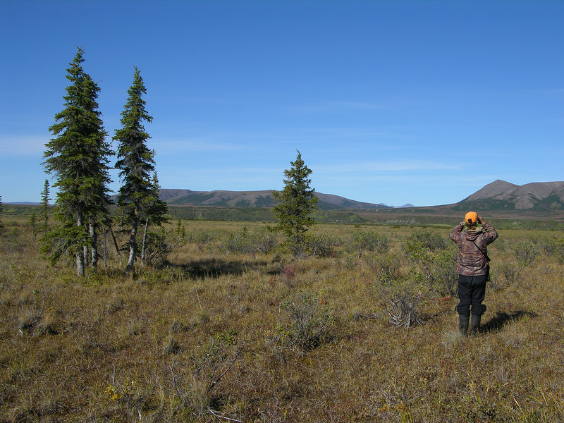 Ian glassing for caribou with the first spruce trees to his left.  At this point in the trip we were intent on harvesting a caribou as we were within a four to five days of the mouth of the river and the caribou numbers were decreasing as we left the migrating heard behind us to the north.  We had responsibly waited to harvest so we would not risk meat spoilage, but we were beginning to think that we had floated right out of caribou county this early in their migration.