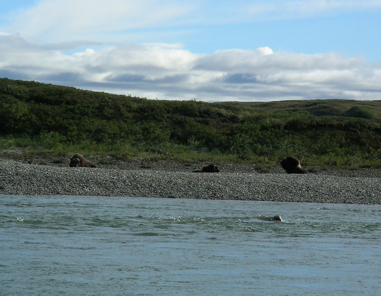 "The following day (Day 9: August 20) was a beautiful one and in the late afternoon Trystan spotted three furry backs on a gravel bar.  Soon the critters identified themselves as three muskoxen and we once again reveled in viewing these living ""relics"" from a much colder past."
