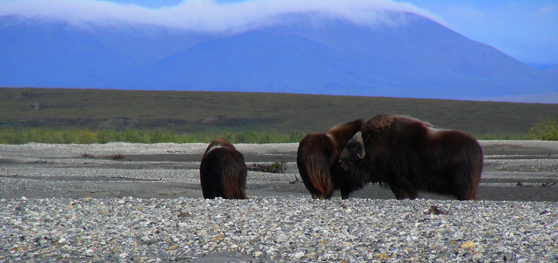 A last look at all three muskoxen.