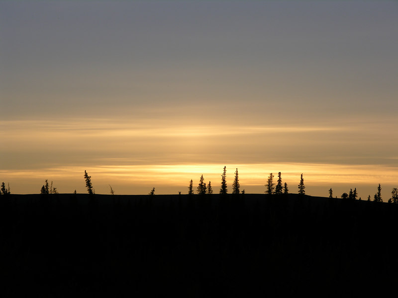 White spruce silhouetted by the sunset.