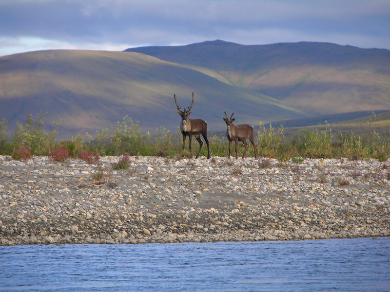 A cow and a calf on a gravel bar.
