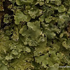 """""""Ahh, the world of lichens.""""  Someday I will take time to identify them.  I can always do it tomorrow, tomorrow, tomorrow....  Read """"Lichens of the North Woods,"""" by Joe Walewski, published by Kollath and Stensaas in Duluth."""