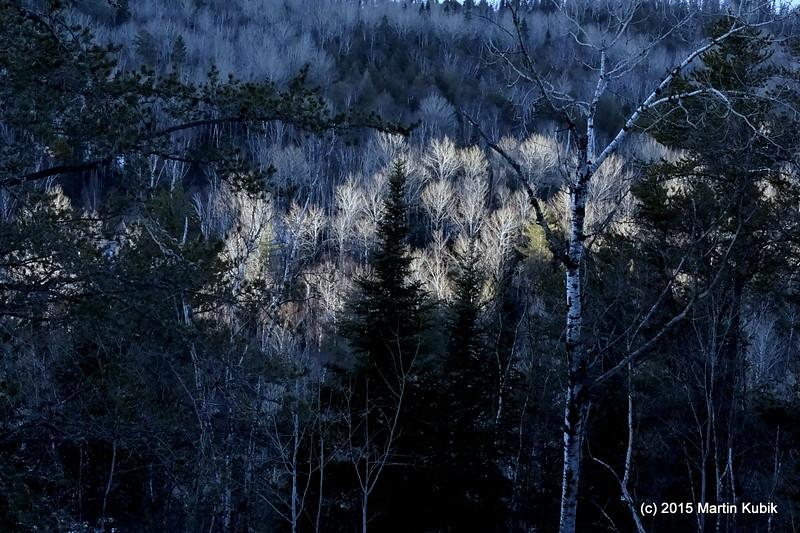 Poplars at sunrise below the Eagle Mountain.