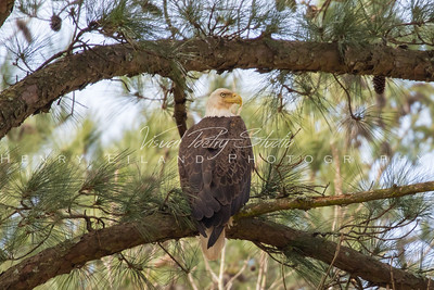 Bald Eagles at White Oaks Pastures