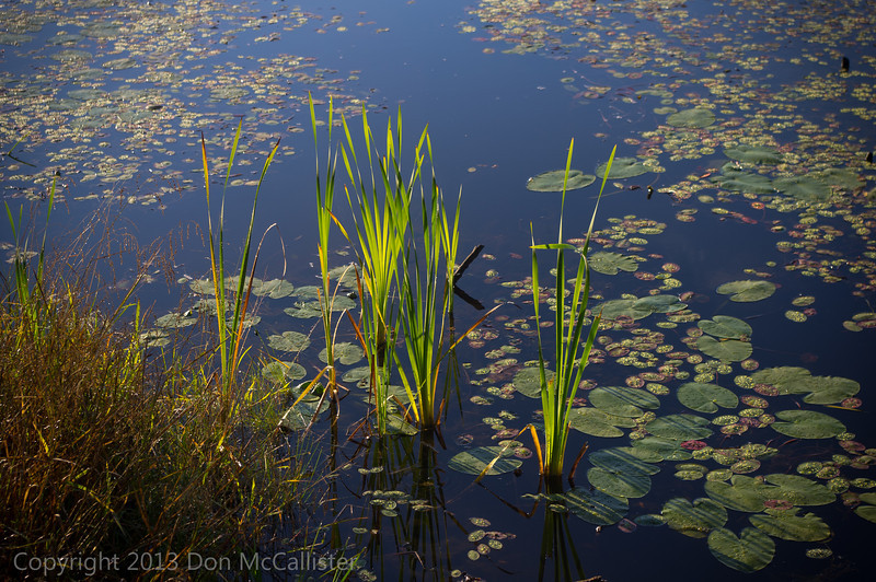 Cattails and lily pads at Wachusett Meadow