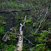 Fallen tree at edge of swamp