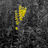 Goldenrod in an autumn field