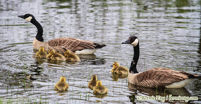 Goslings follow the leader near Crow Island in Saginaw, MI.