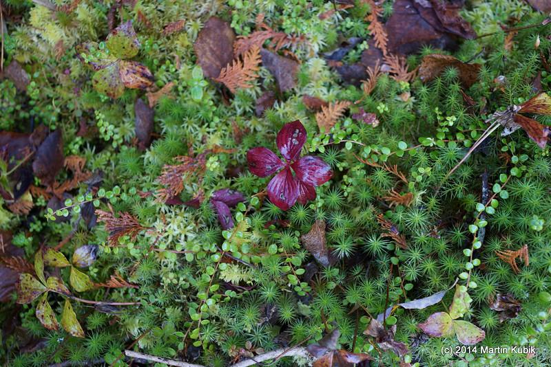 Canadian dogwood (reddish leaves).