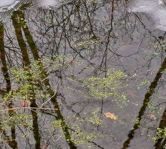Floating Plants and Reflections 2