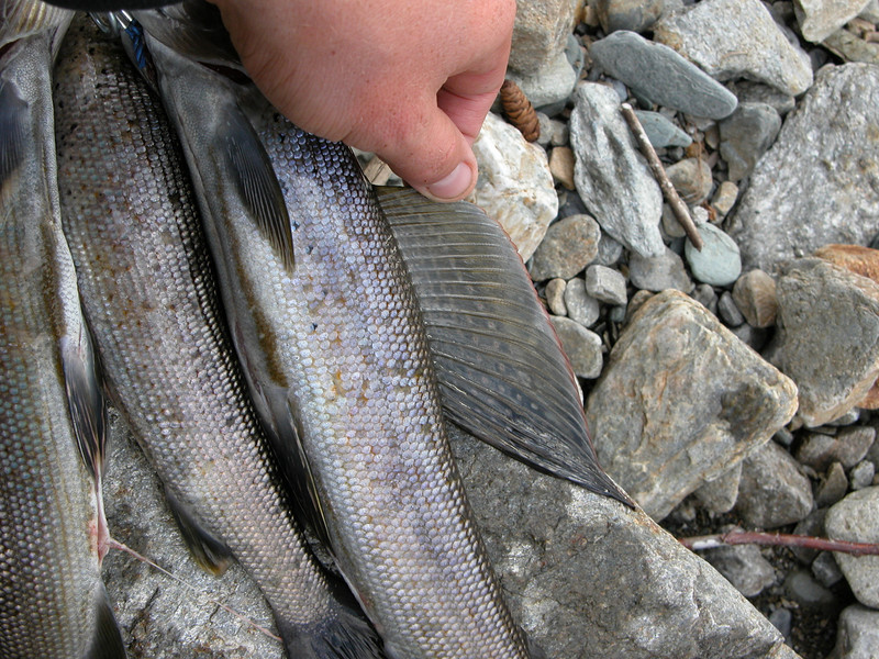Nick fans out the beautiful sail of an arctic grayling.