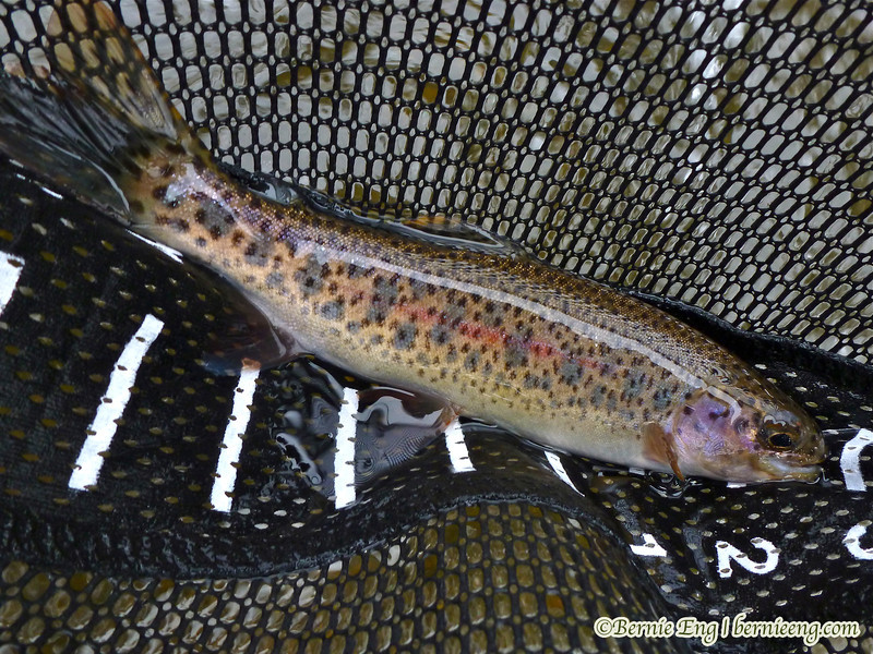 Found one stray rainbow trout today hanging out with the brown trout.