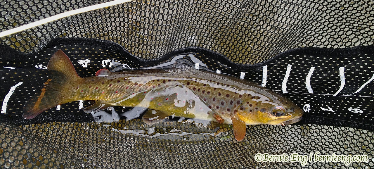 Caught some beautiful, wild brown trout ranging from 8 to 14 inches today on the AuSable River.