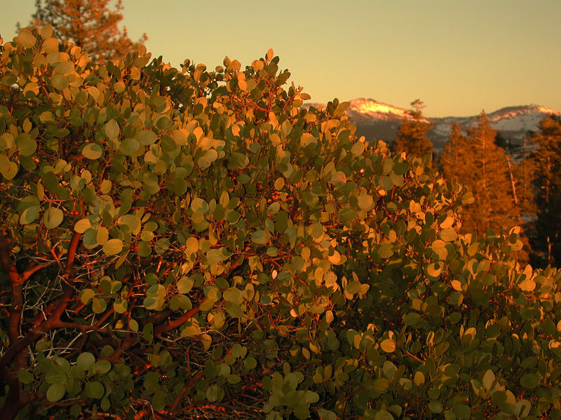 Manzanita in the foreground and snow capped peaks in the background.