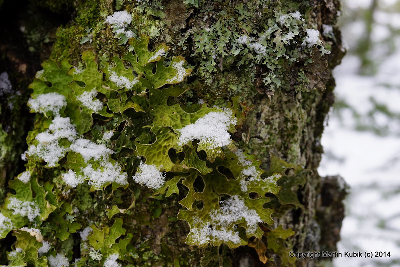 Lichens.  Captivating.  Too bad they printed the lichen book on clay paper.