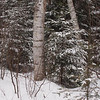 Whatever the reason this birch tree stood out as a pillar of strength and I took a photo of it.