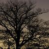Sunrise oak tree