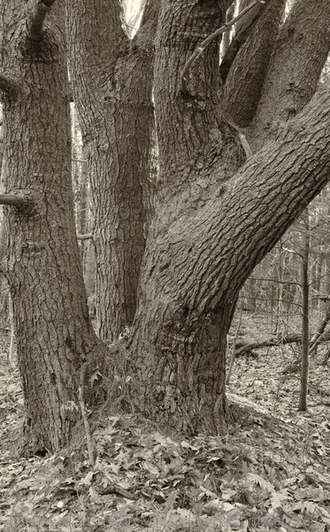 Wolf tree off Pasture Trail