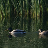 ducks in Joshua Tree Lake
