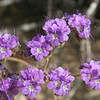 purple fiddleneck