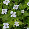 The rewards are here.  Canadian Dogwood aka Bunchberry.