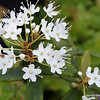 Labrador tea.  Ask me about its properties.