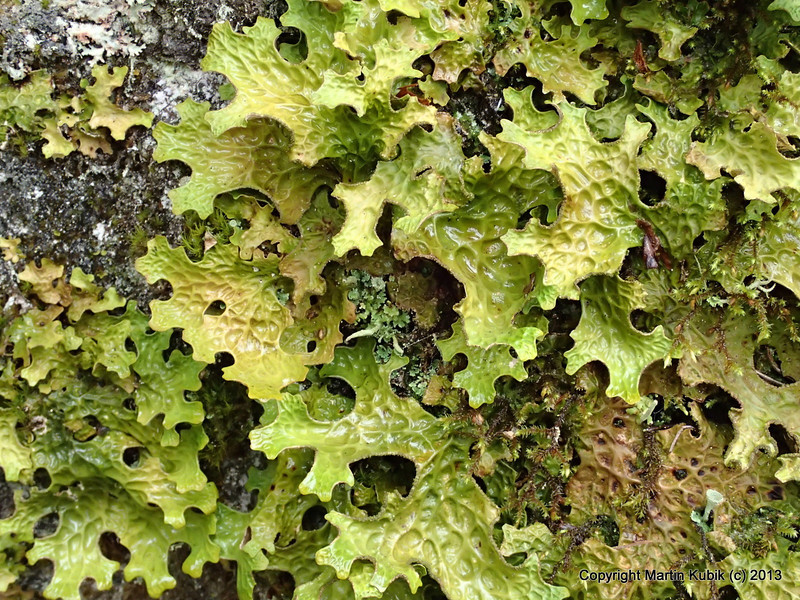 Lungwort lichen. There are over 100 different lichens in Minnesota.  Lichens like clean air.   When the weather is cool and moist they really spring to life and display rich hues like this.  One of the reasons I enjoy hiking and looking around in the forest.