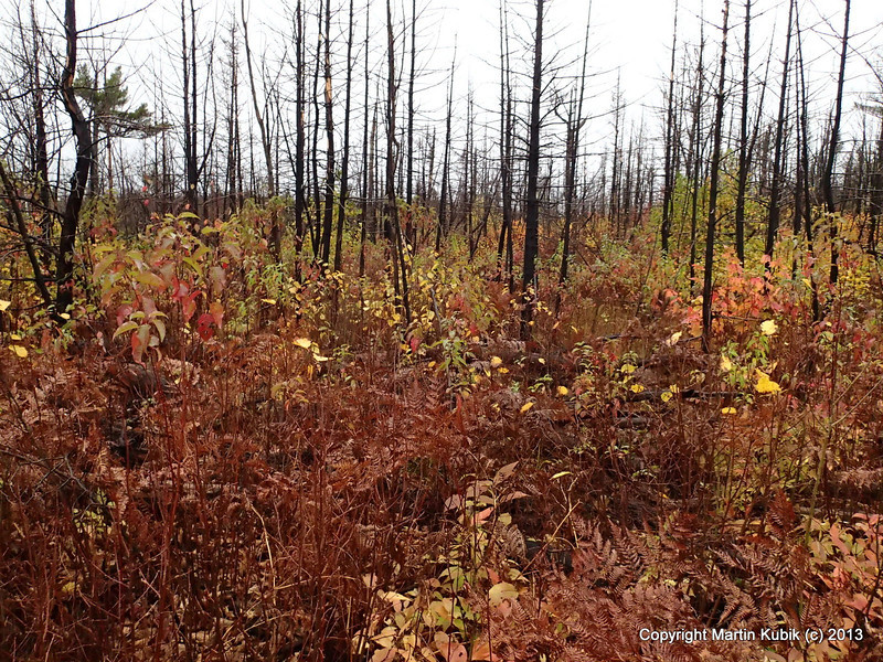 Looking pretty in fall, it is likely to spring up with a lot of brush in coming years.