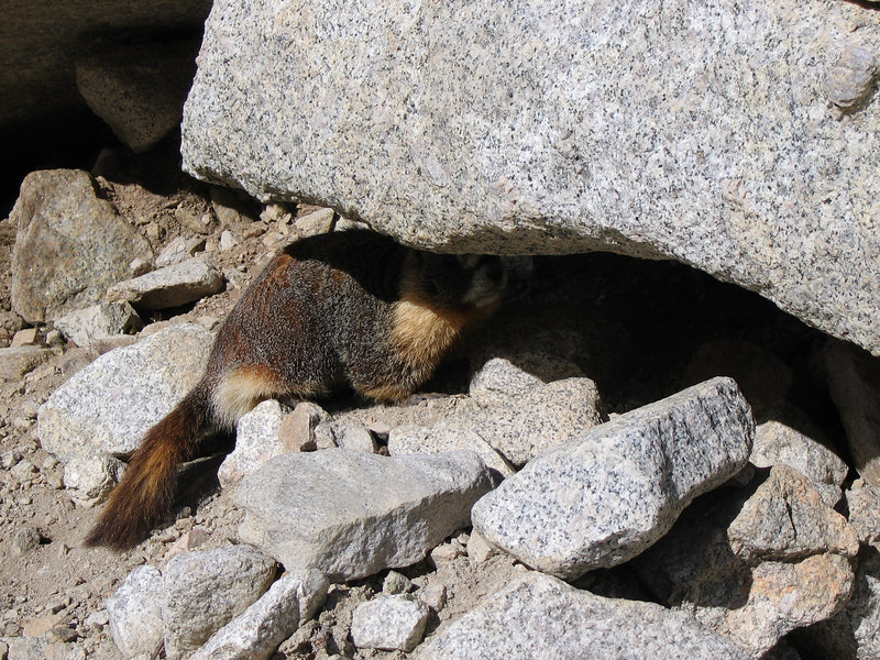 IMG_1247 Marmot