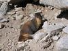 IMG_1246 Marmot