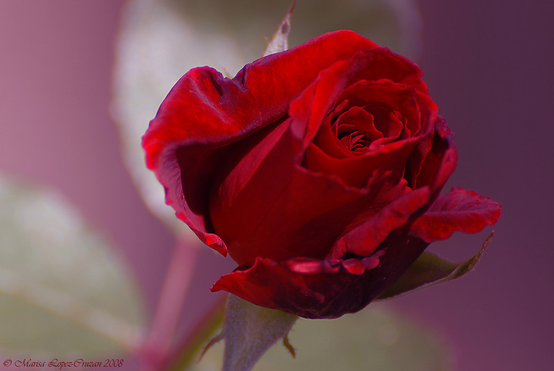The Beauty Of A Red Rose