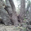 knarled old oak tree