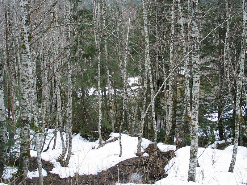 pretty birch trees