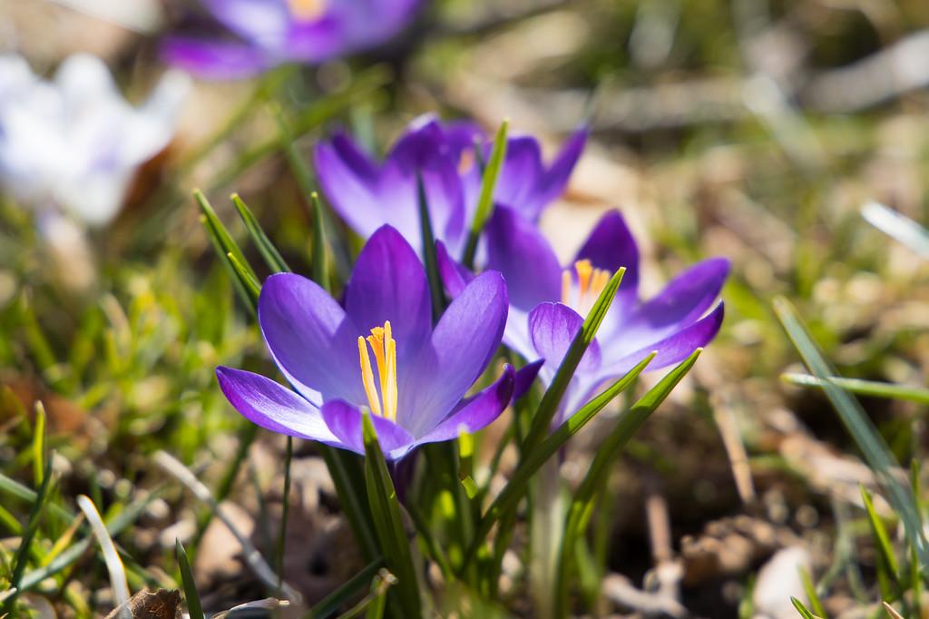 IMAGE: https://photos.smugmug.com/Outdoors/Spring-Crocus/i-WKVPpzn/0/c923583a/XL/20190406_128-XL.jpg