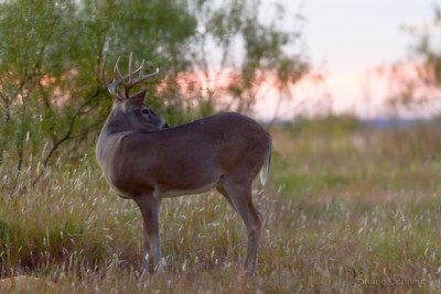 Sunset Bucks