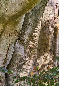 Copper Beech -- Close-up of Some Trunks