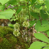 Wild Sarsparilla.  Most common ground cover, roots of which have been used as a substitute for root beer flavor.