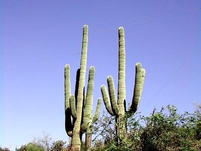 08 - Saguaro Cactus