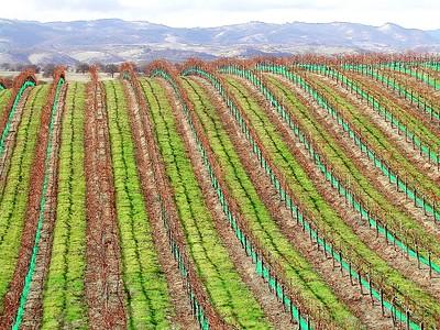 Eberly Vinyard  Paso Robles  CA